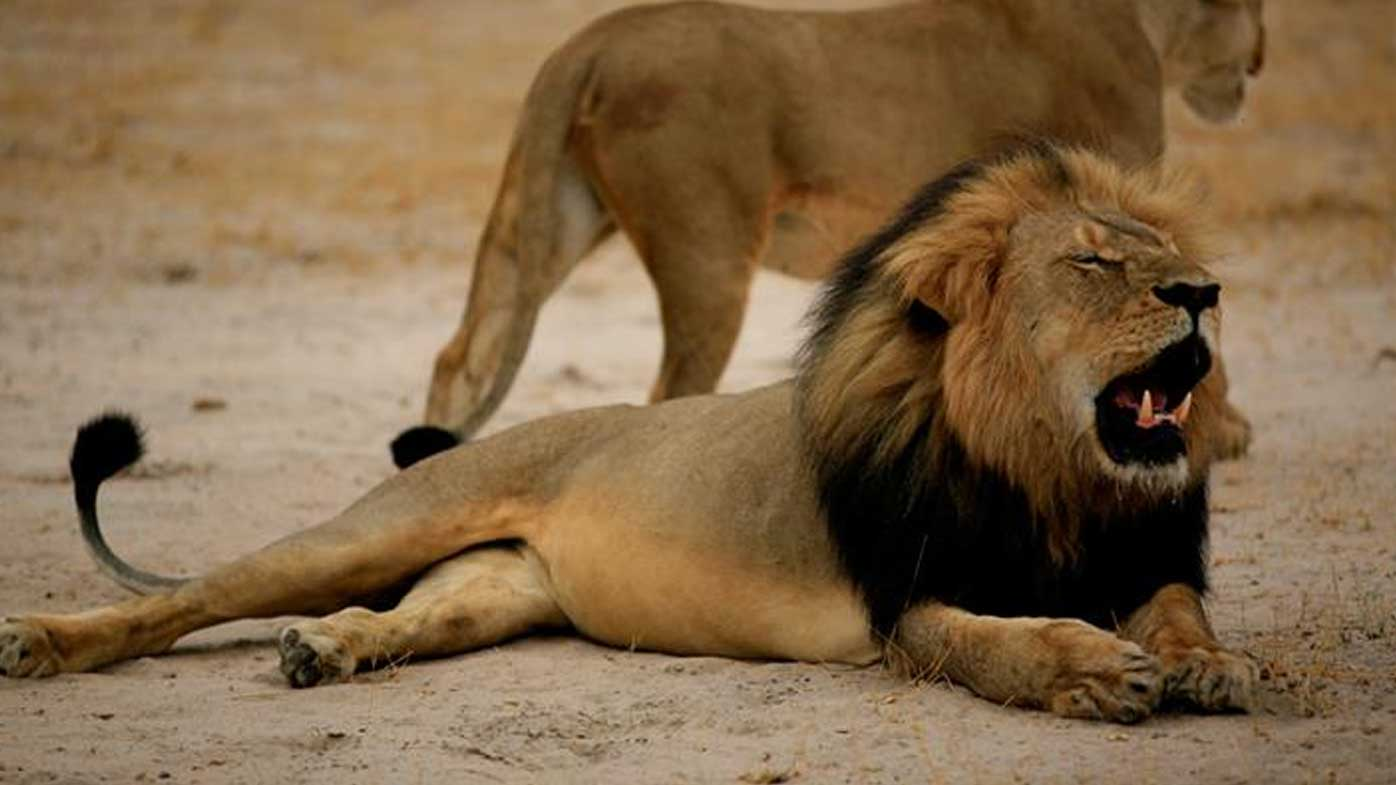 Zimbabwe bans lion hunting after international outcry