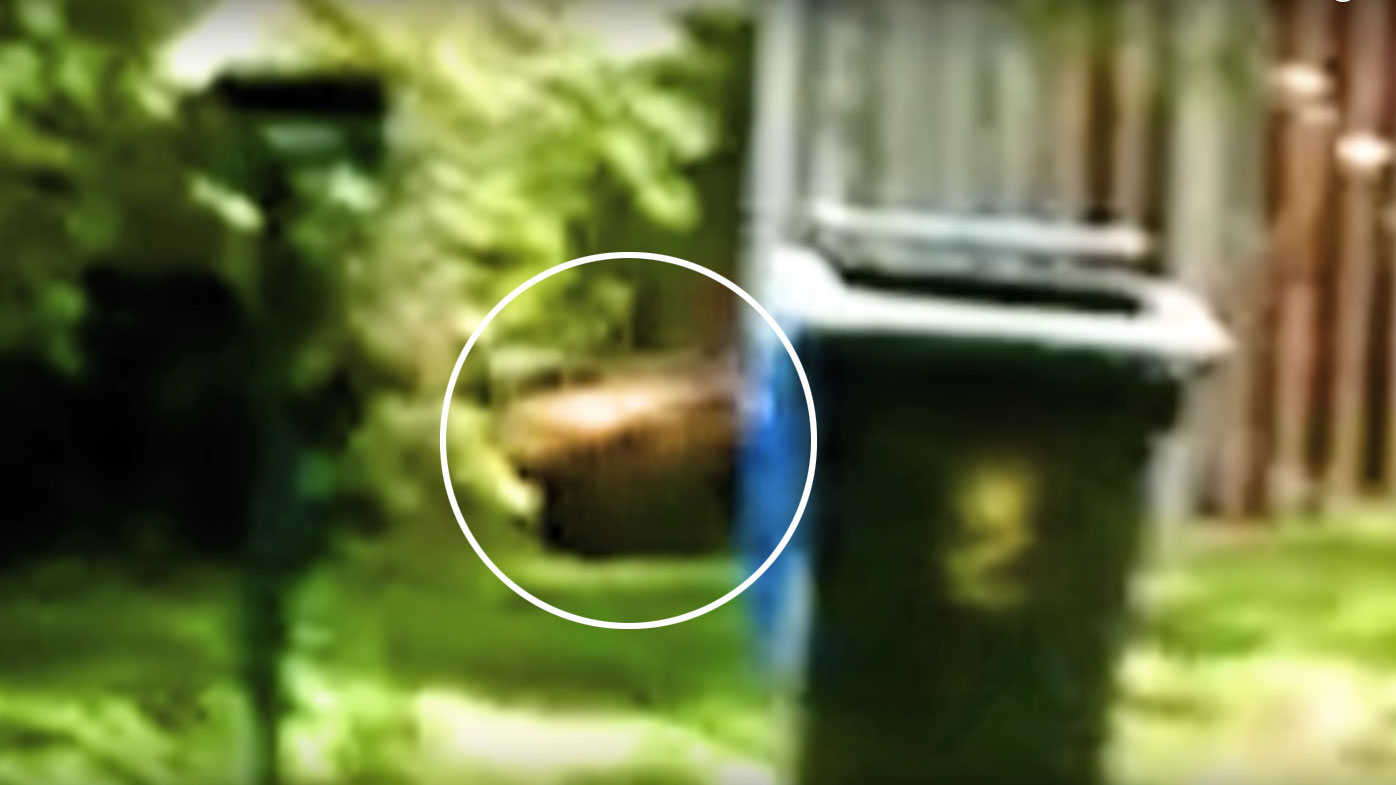 The footage also appears to show the distinctive stripes of the Tasmanian tiger. (Supplied)