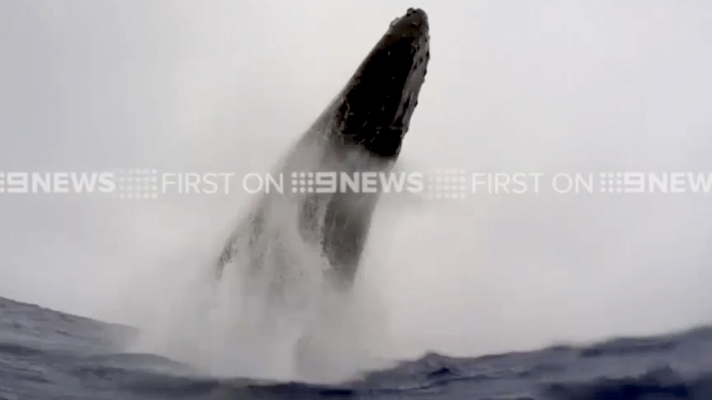 Humpback whale breaches just metres from Australian snorkellers in Tonga