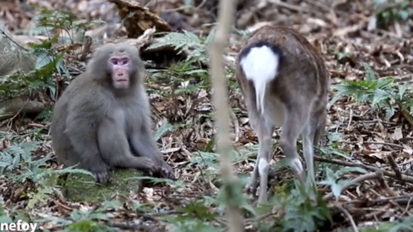 A still from footage of a male monkey attempting to have sex with female deer in Japan. (Supplied)
