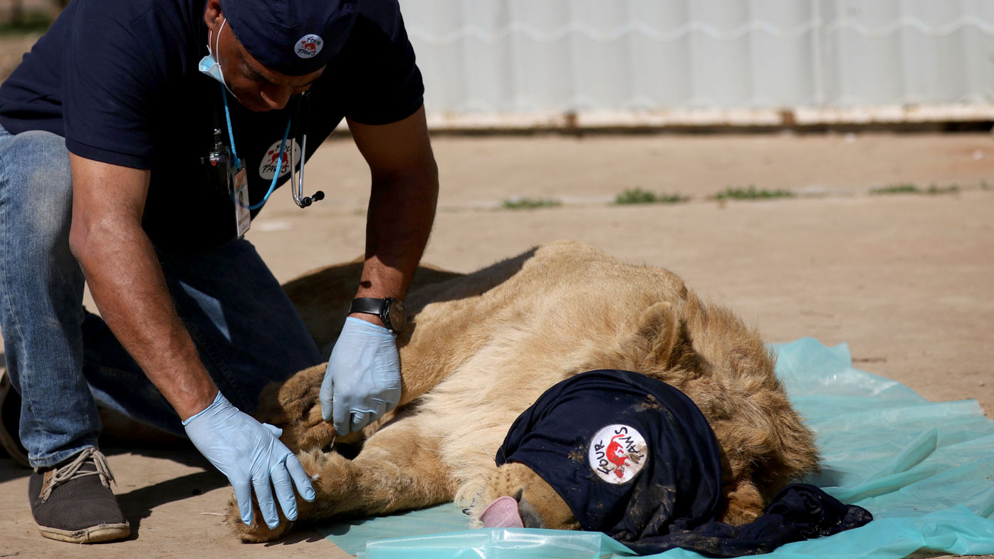 Simba was rescued after almost all the other animals at the zoo starved to death. (AFP)