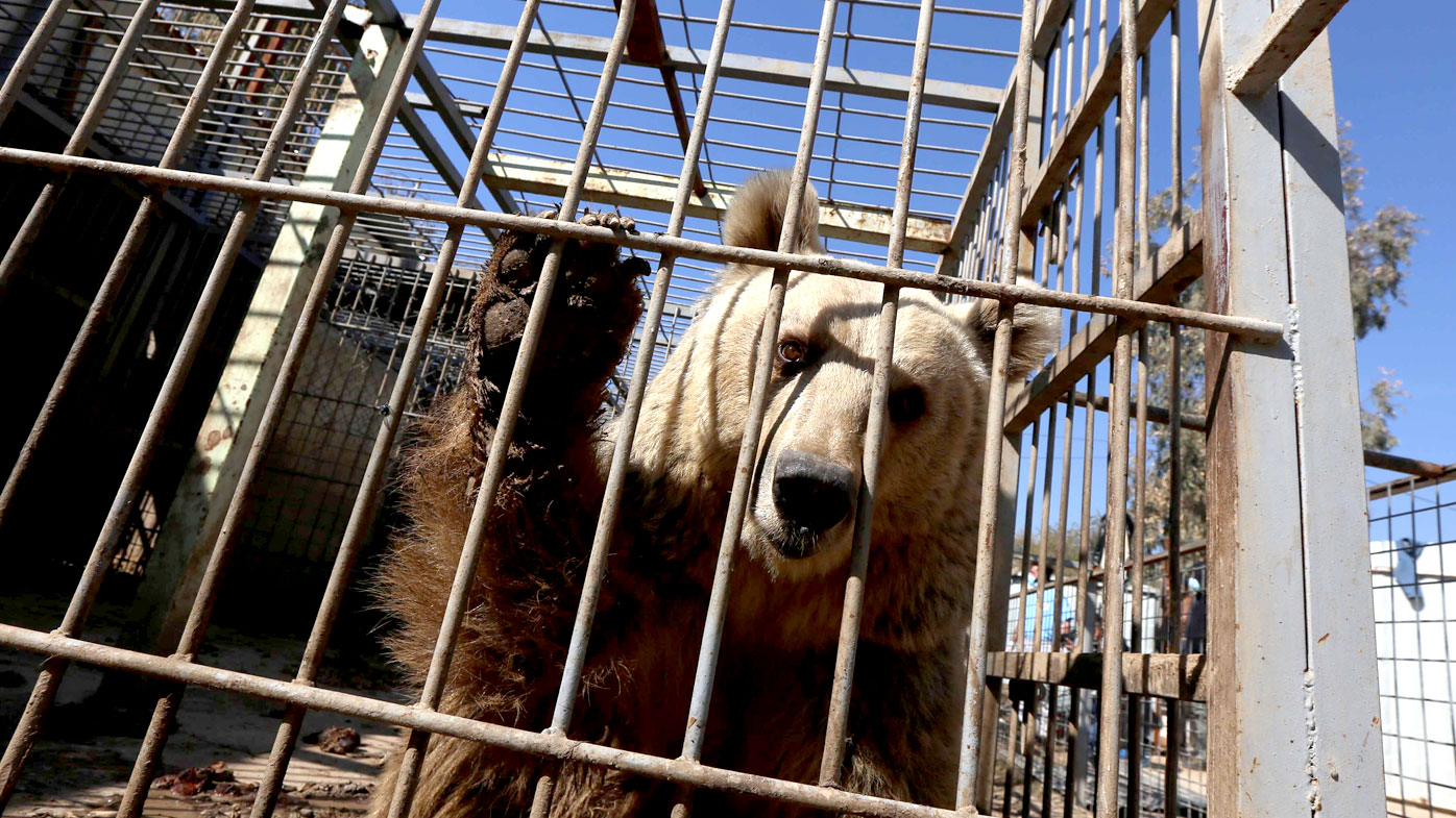 Lula, an abandoned bear, in the Muntazah al-Nour zoo in eastern Mosu. (AFP)