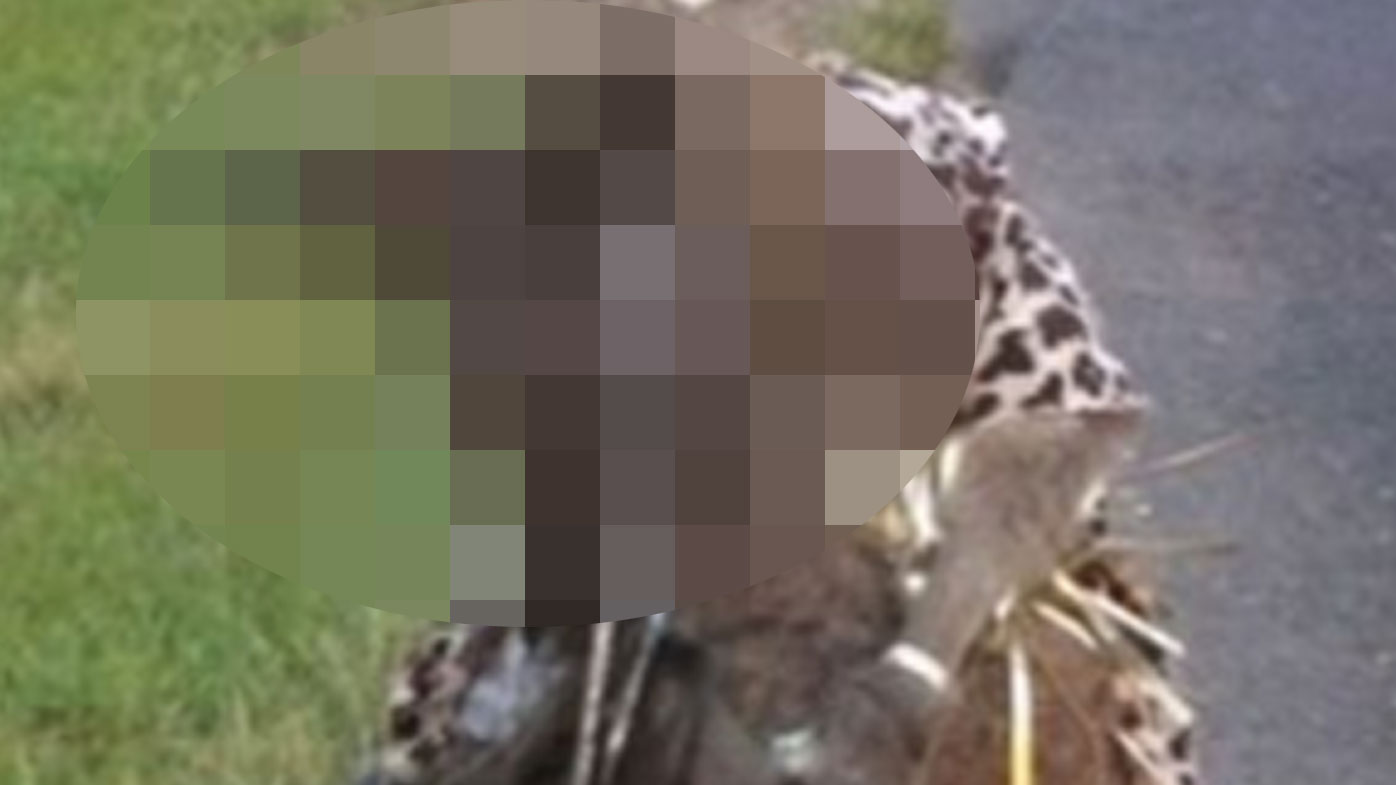 PETA offers $5000 after kangaroo shot and dressed up on roadside