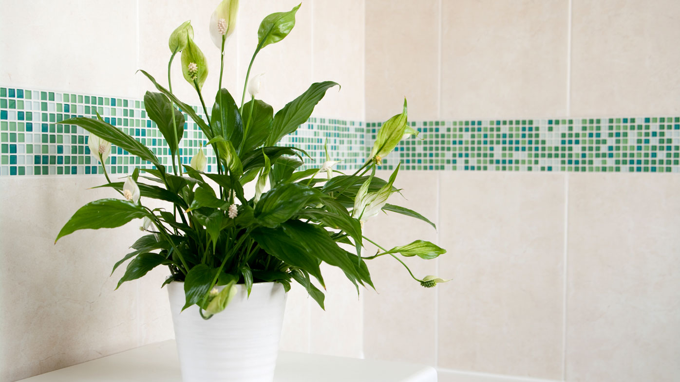 Indoor Plants Look Great They 39 Re Also Great For Your Health