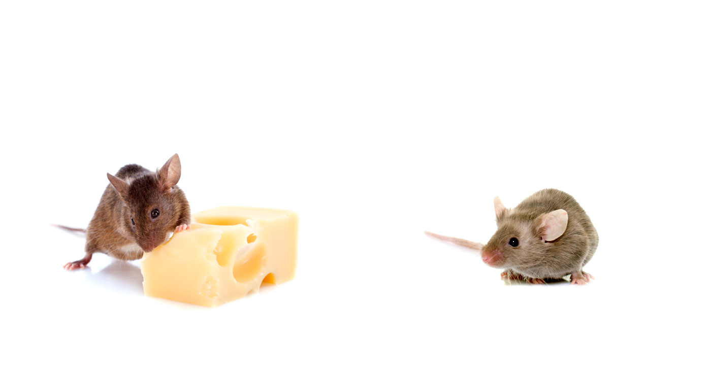 On-off fasting fires up metabolism and burns fat, indicates mouse study