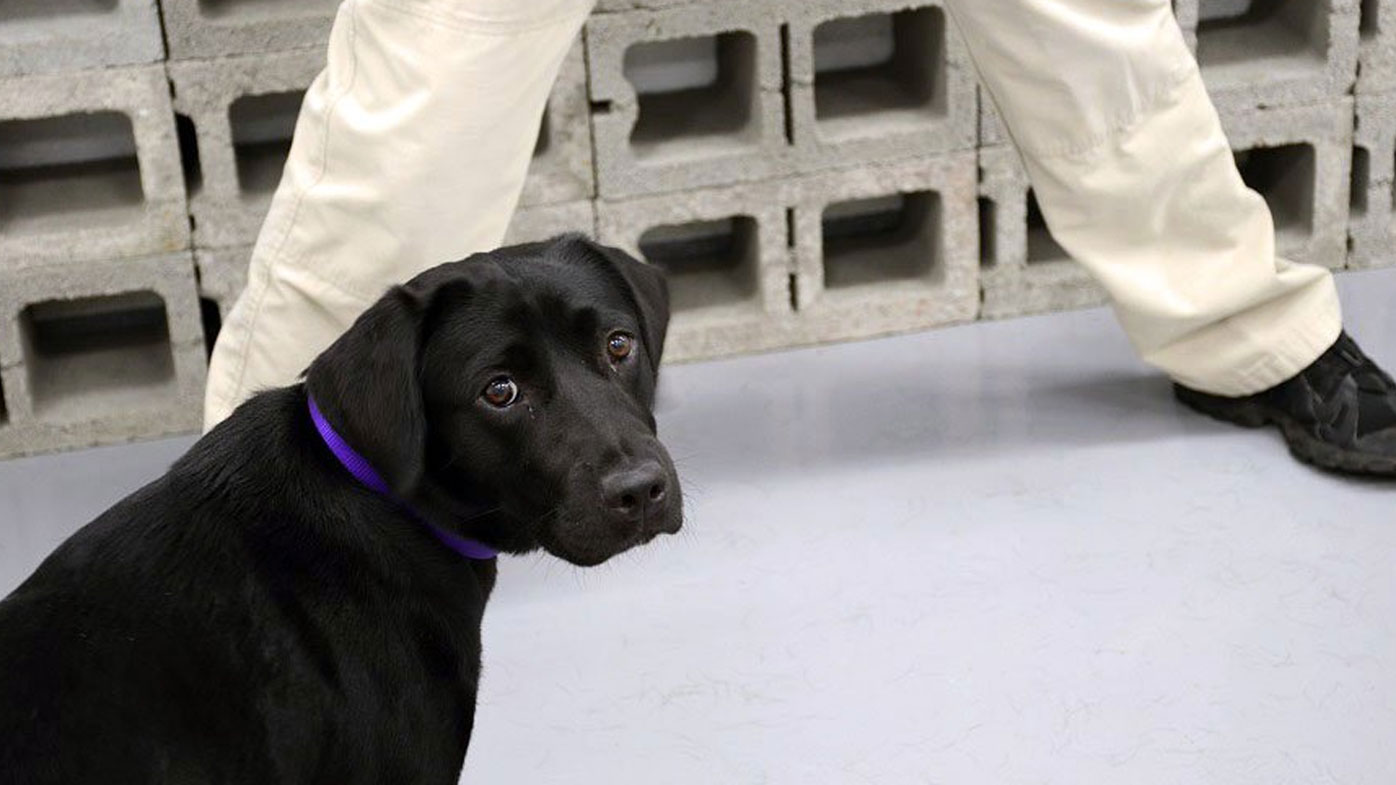Lulu the labrador drops out of elite CIA bomb squad to live her best life