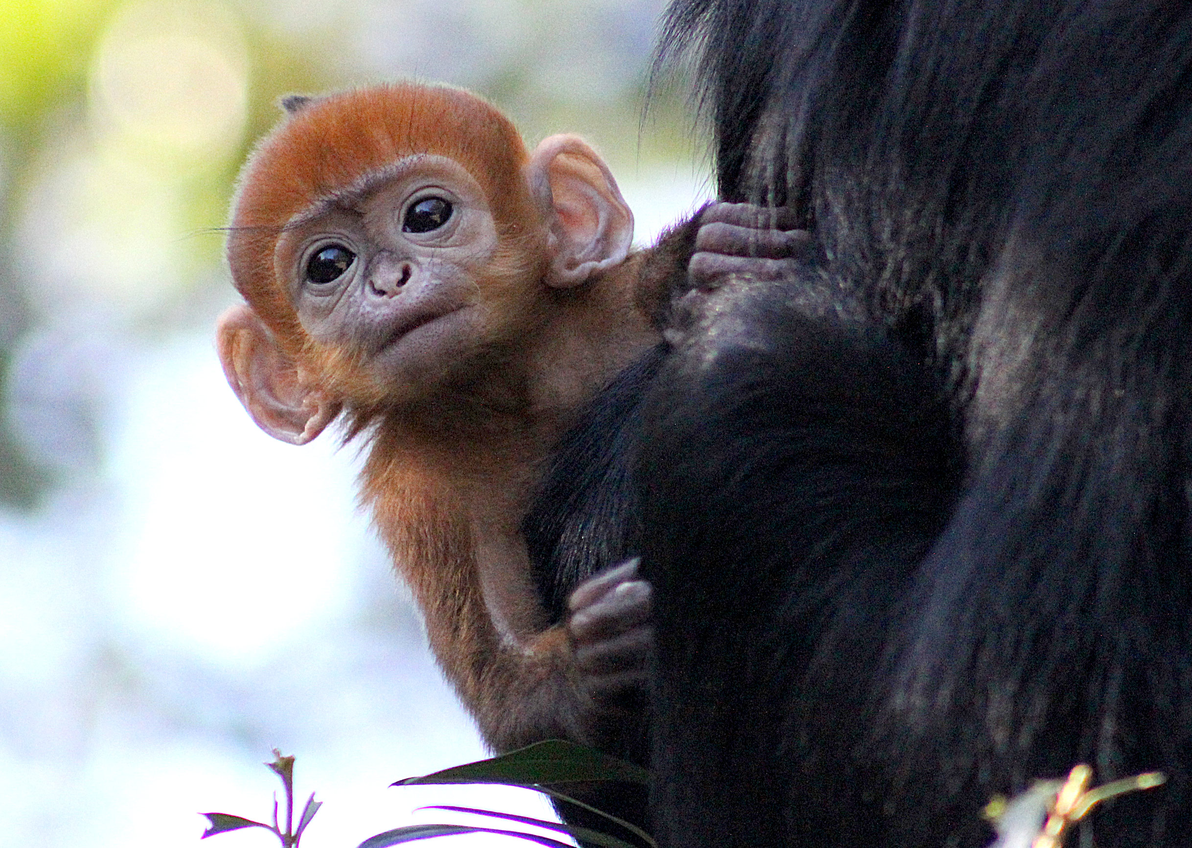 OMG: Absurdly cute ginger monkey born at Taronga Zoo - 9Pickle