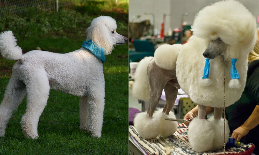 How the poodle got its 'do | 9Pickle