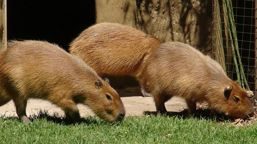 Adelaide Zoo welcomes cute giant rodents - 9news.com.au