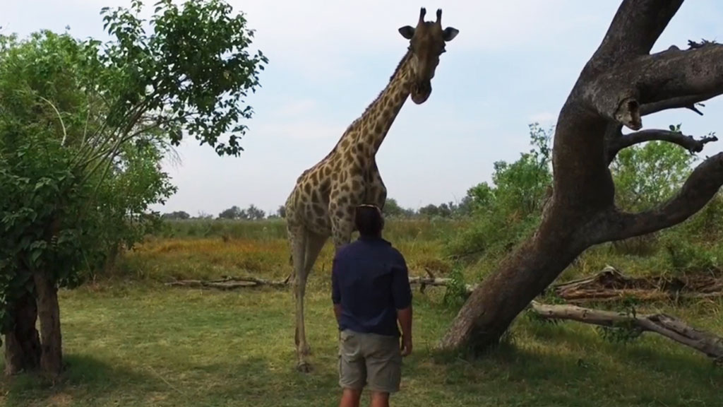 giraffe attack africa video