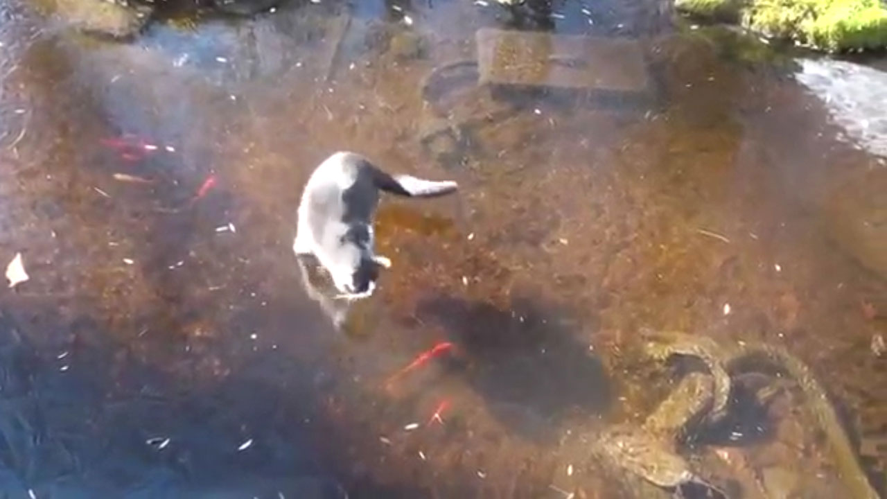 Cat deeply confused by frozen fishpond 9pickle for Koi pond freezing