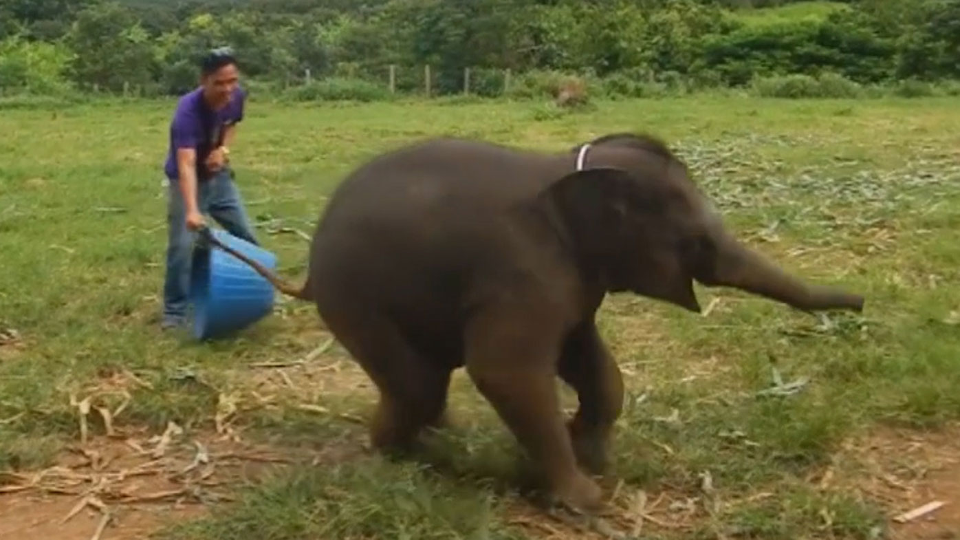 the sound of baby elephant giggling is the sound of pure