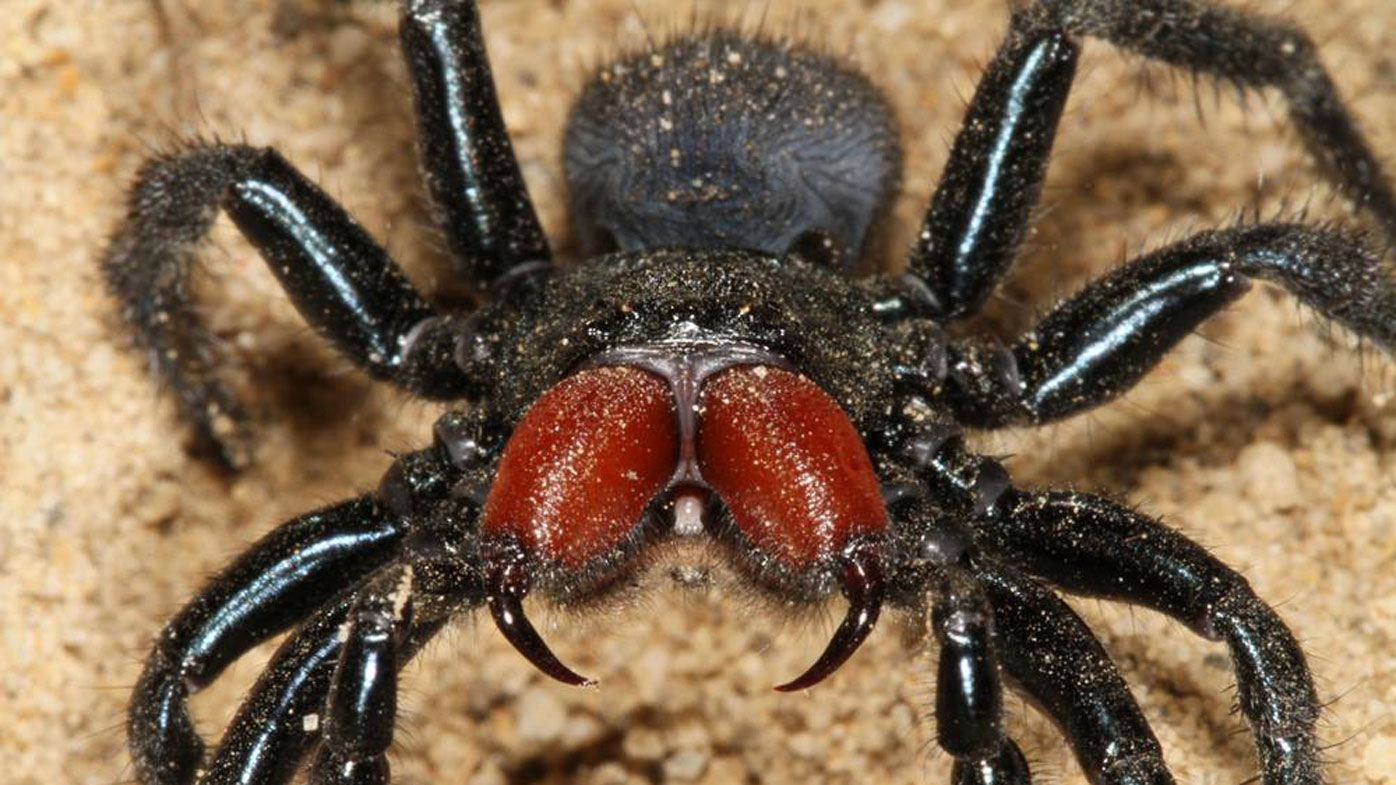 Thirsty Male Trapdoor Spiders Face Fierce Predators To Look For
