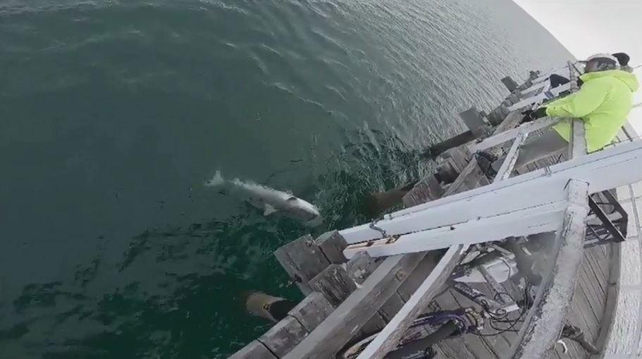 Tiger shark steals fisherman's catch