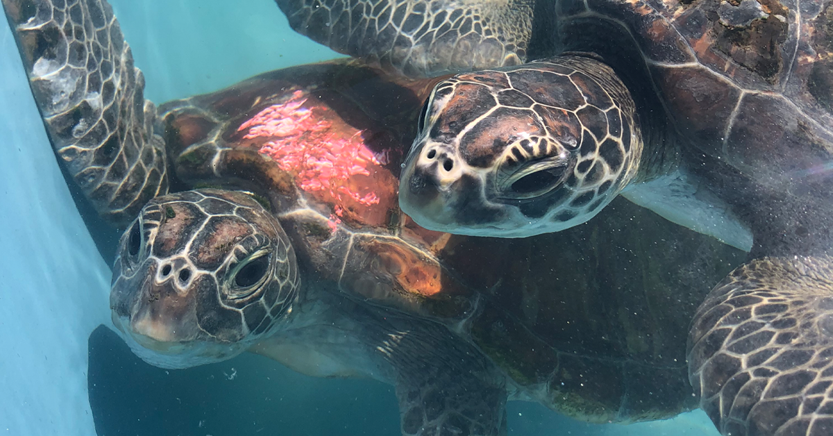 EXCLUSIVE: Fears pesticides are making sea turtles ill in northern NSW