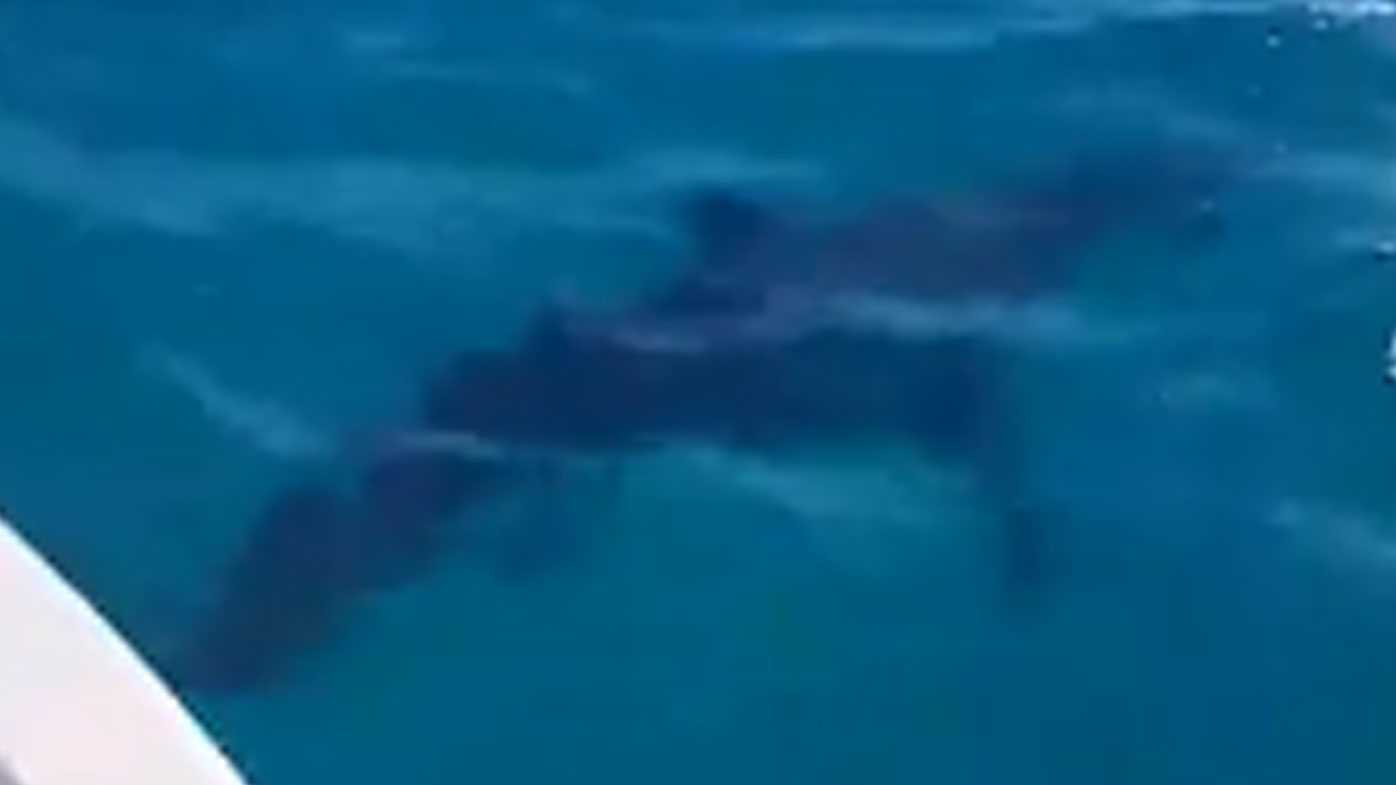 Great white shark frightens boat crew