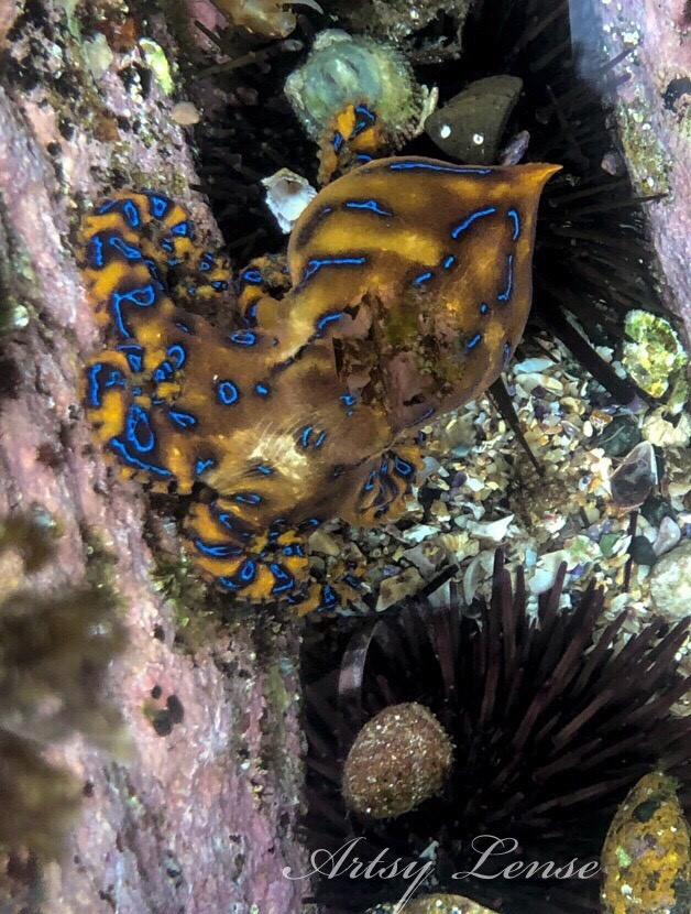 Deadly blue-ringed octopus found at popular Sydney beach
