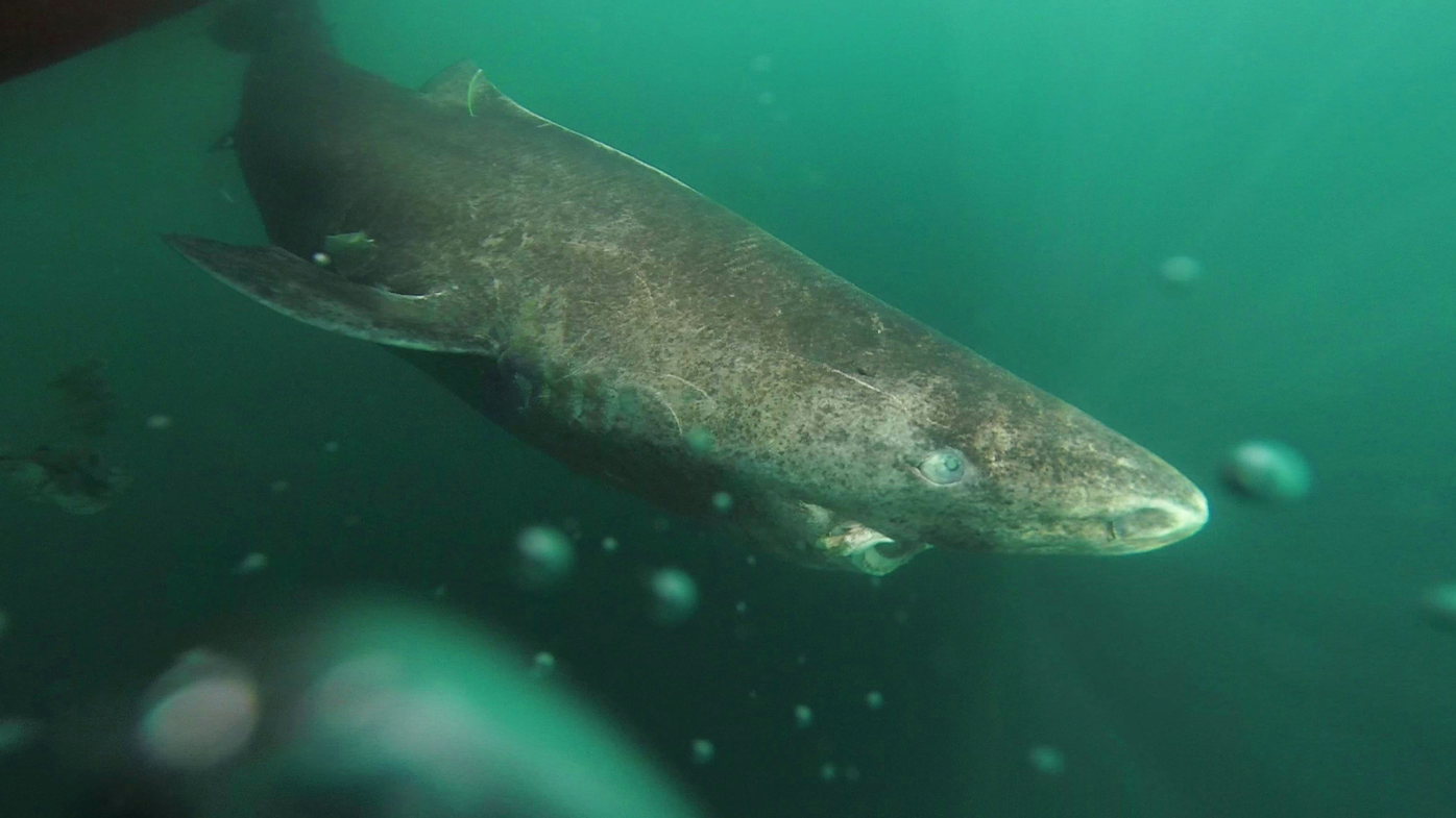 Scientists think they've discovered the world's oldest living vertebrate – an ancient shark