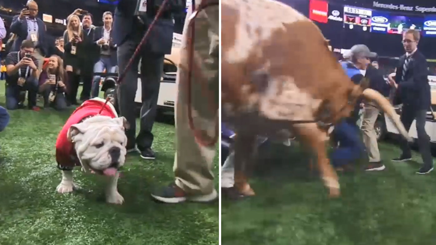 Uga and Bevo clash at the Sugar Bowl