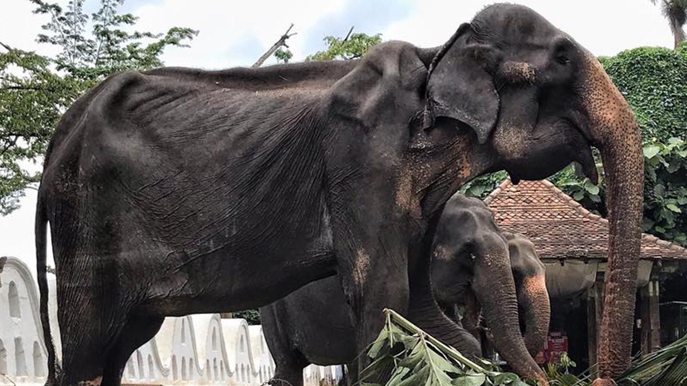 Heartbreaking photos show malnourished festival elephant performing in Sri Lanka