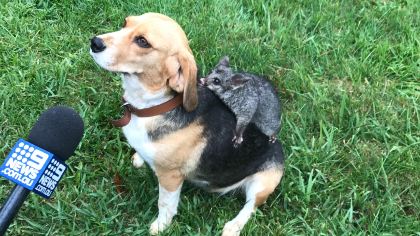 Beagle 'adopts' baby possum after losing litter of puppies