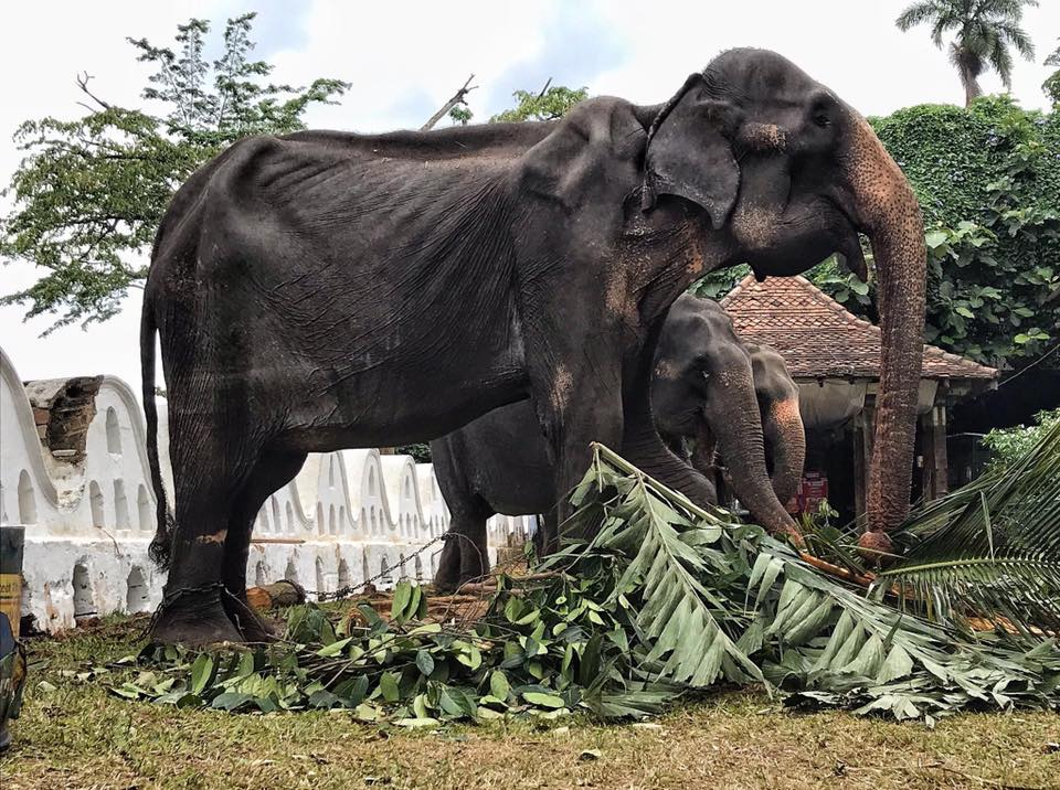 Heartbreaking truth about malnourished festival elephant