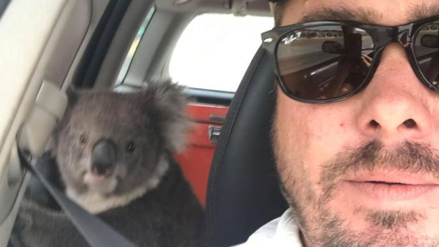 Adelaide winemaker finds koala in the backseat of his car