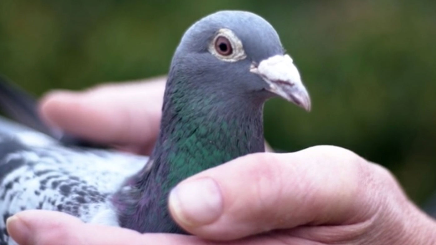 Image result for कबूतरों का लुईस हैमिल्टन