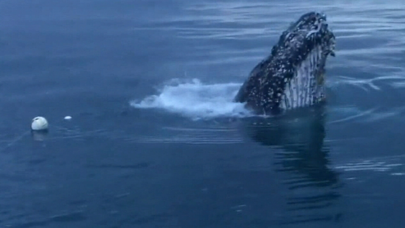 Emergency mission to free humpback whale trapped in rope resumes
