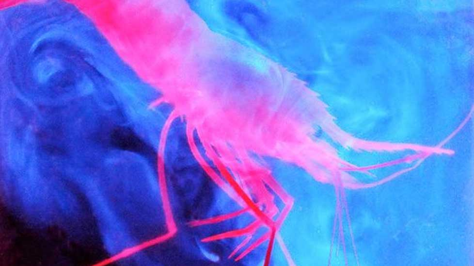This deep sea shrimp Parapandalus excretes a glowing cloud of organic matter.