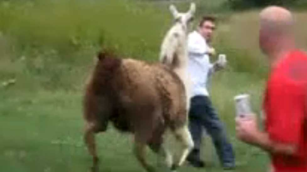 This man gets some unwanted attention from a llama