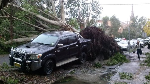 A tree has been uprooted on Laman Street at Cooks Hill. (Supplied: Elisa Haig)