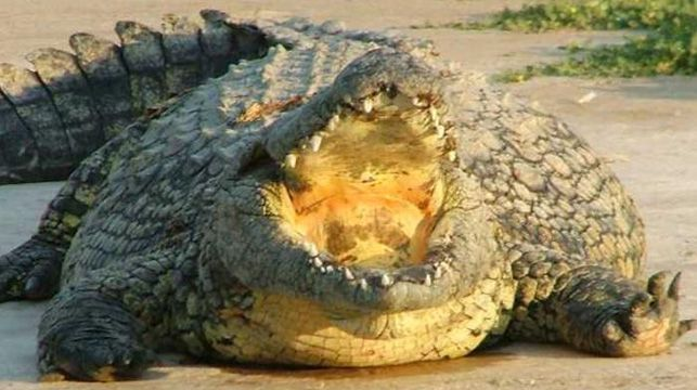 One of the 5m-long crocodiles from Rakwena Crocodile Farm.