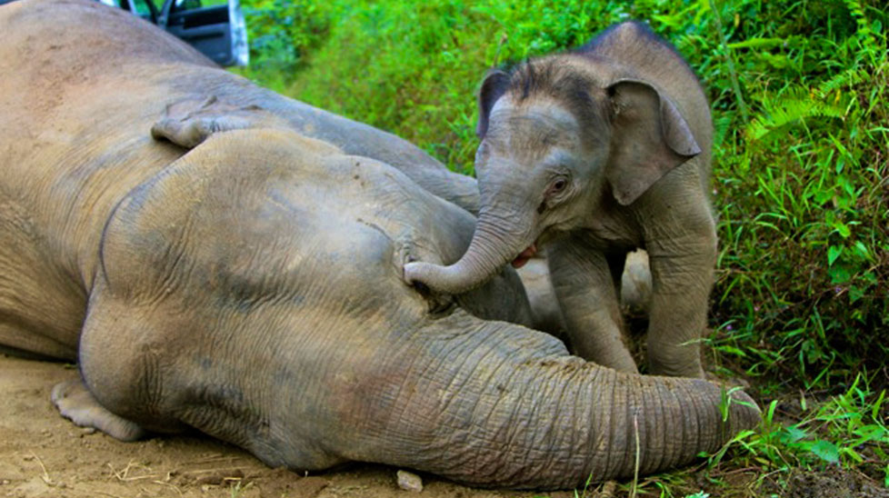 The elephant calf was found by its mothers side. (AAP)