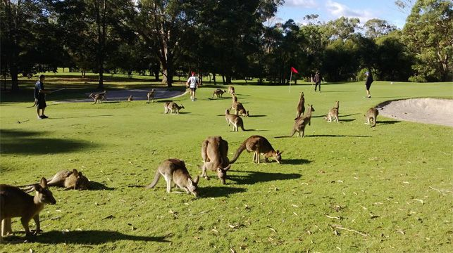 Kangaroos take over the course at Nelson Bay Golf Club.