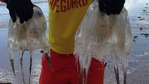 Lifeguard Tori Demopoulos with the two lethal box jellyfish that washed up onshore at Balgal Beach. (Supplied)