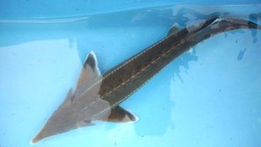 Steve, a sturgeon that escaped from its aquarium during UK floods (World of Water)