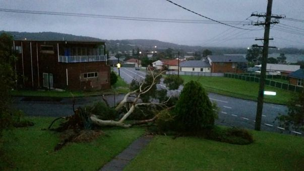 Gum trees were pulled from the ground in Booragul. (NSW SES)