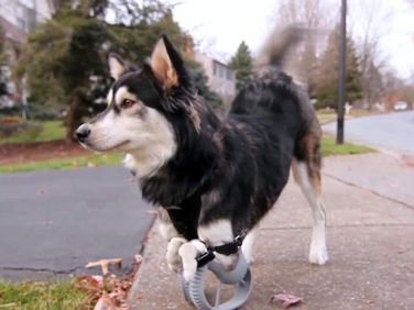 Derby the dog gets custom 3D-printed prosthetic legs