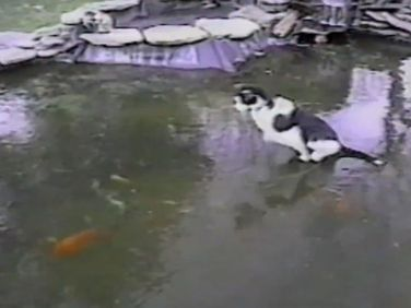 A cat tries to catch fish from a frozen pond