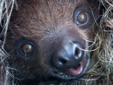 Baby sloth looks even weirder in close-up