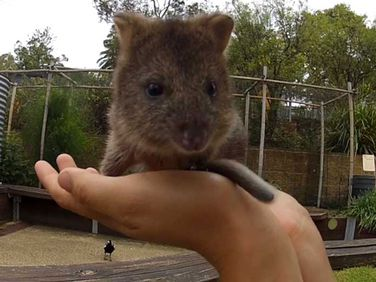 Mia the quokka