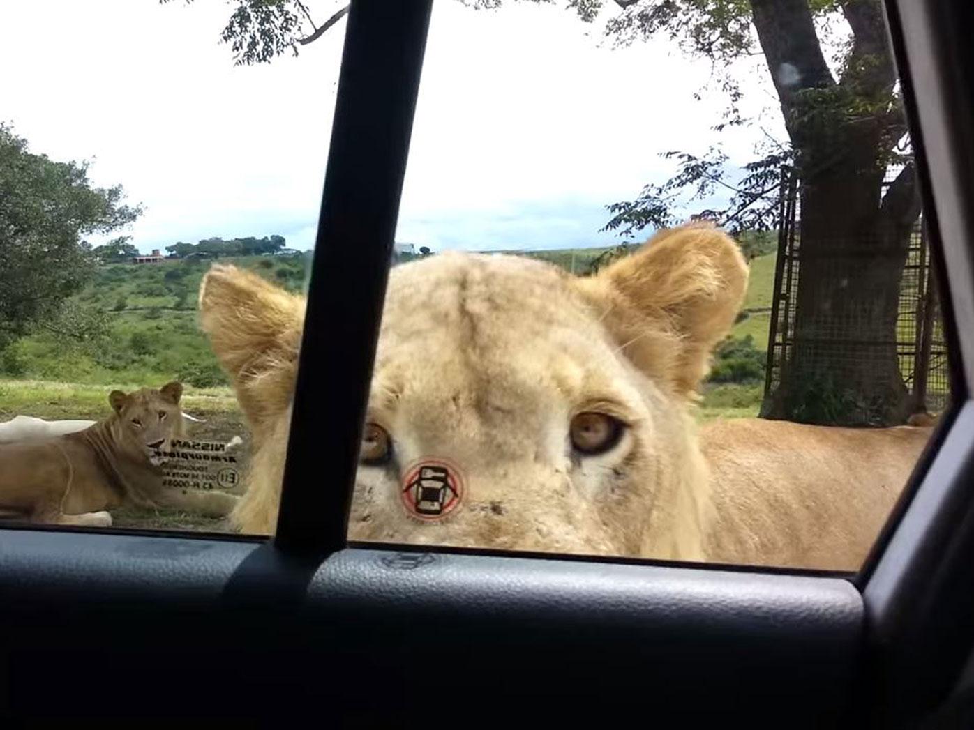 A lioness opens a car door