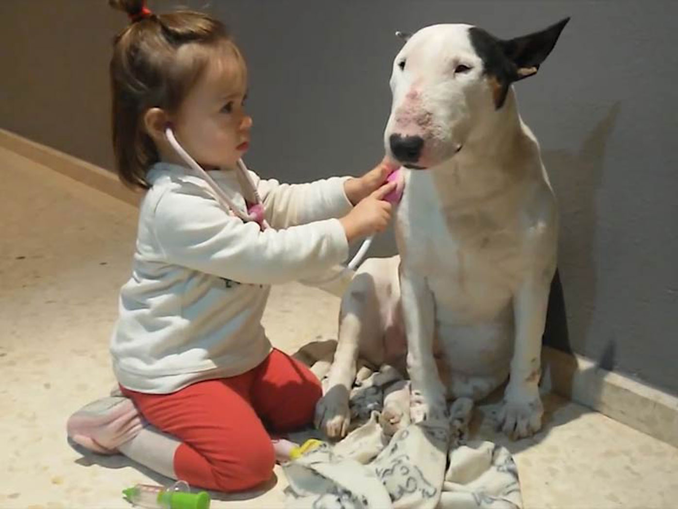 A patient pit bull endures playtime check-up