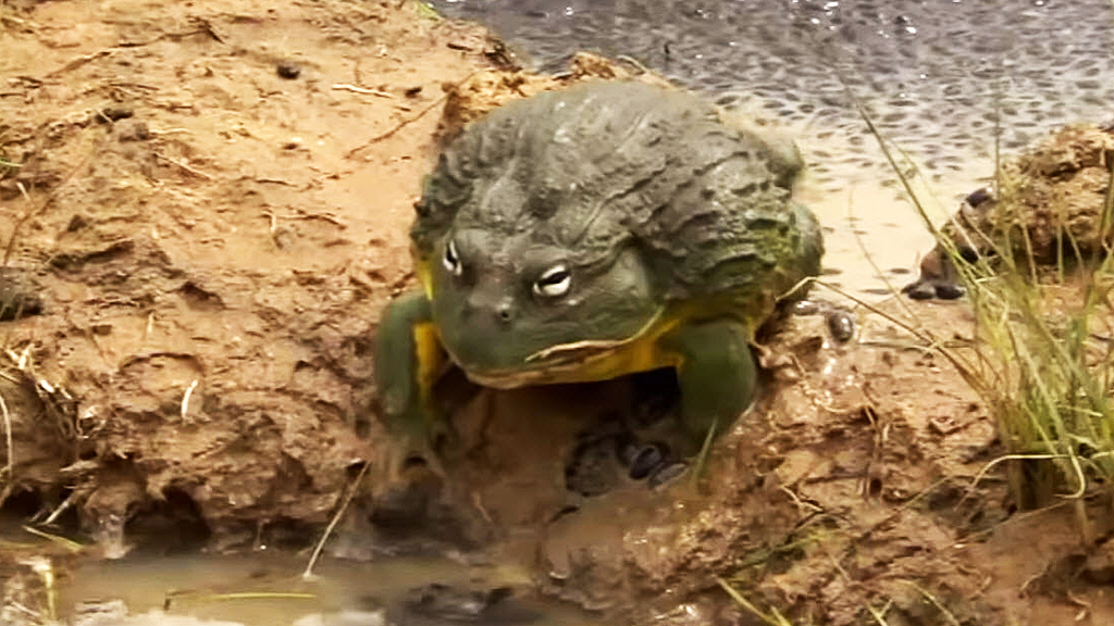 Male African Bullfrogs Are Actually Great Dads 9pickle,Pyramid Card Game Setup