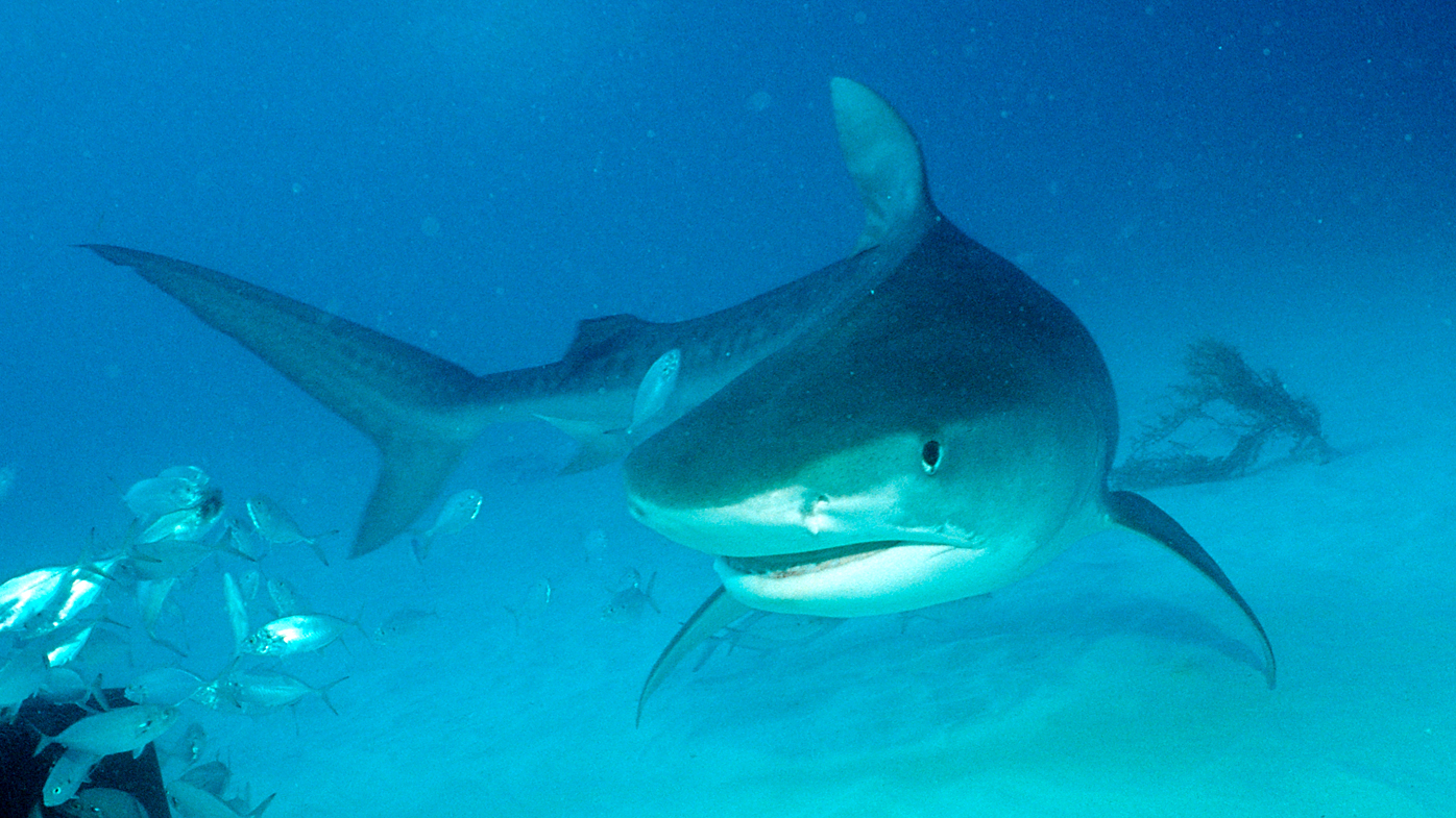 Queensland shark attacks: More than 200 tiger sharks caught