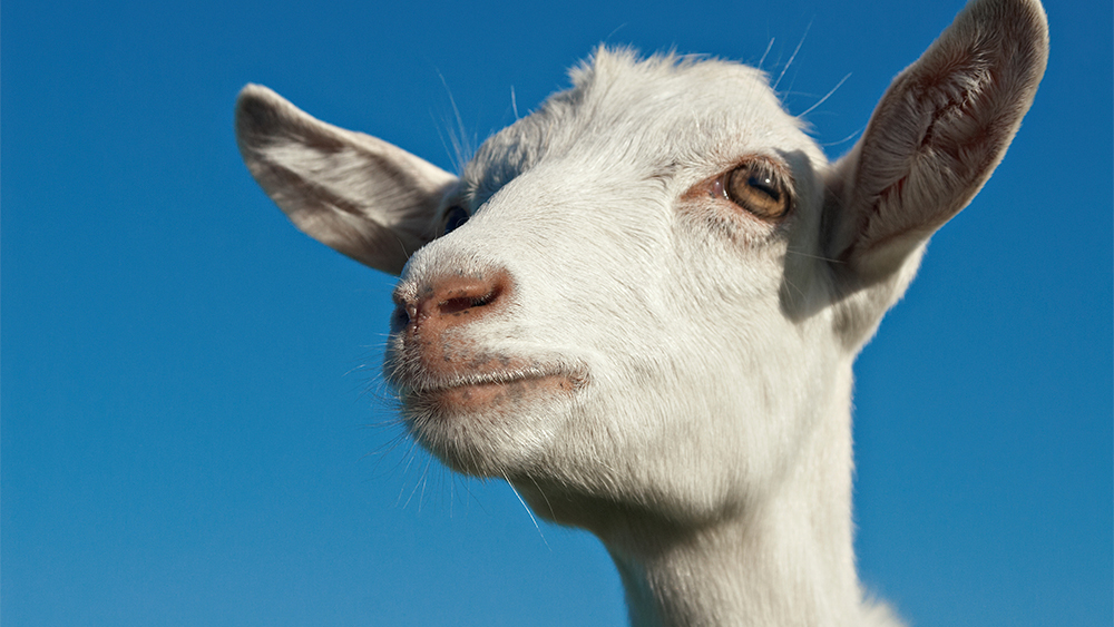 Goat meat could be the healthiest meat there is - 9Coach