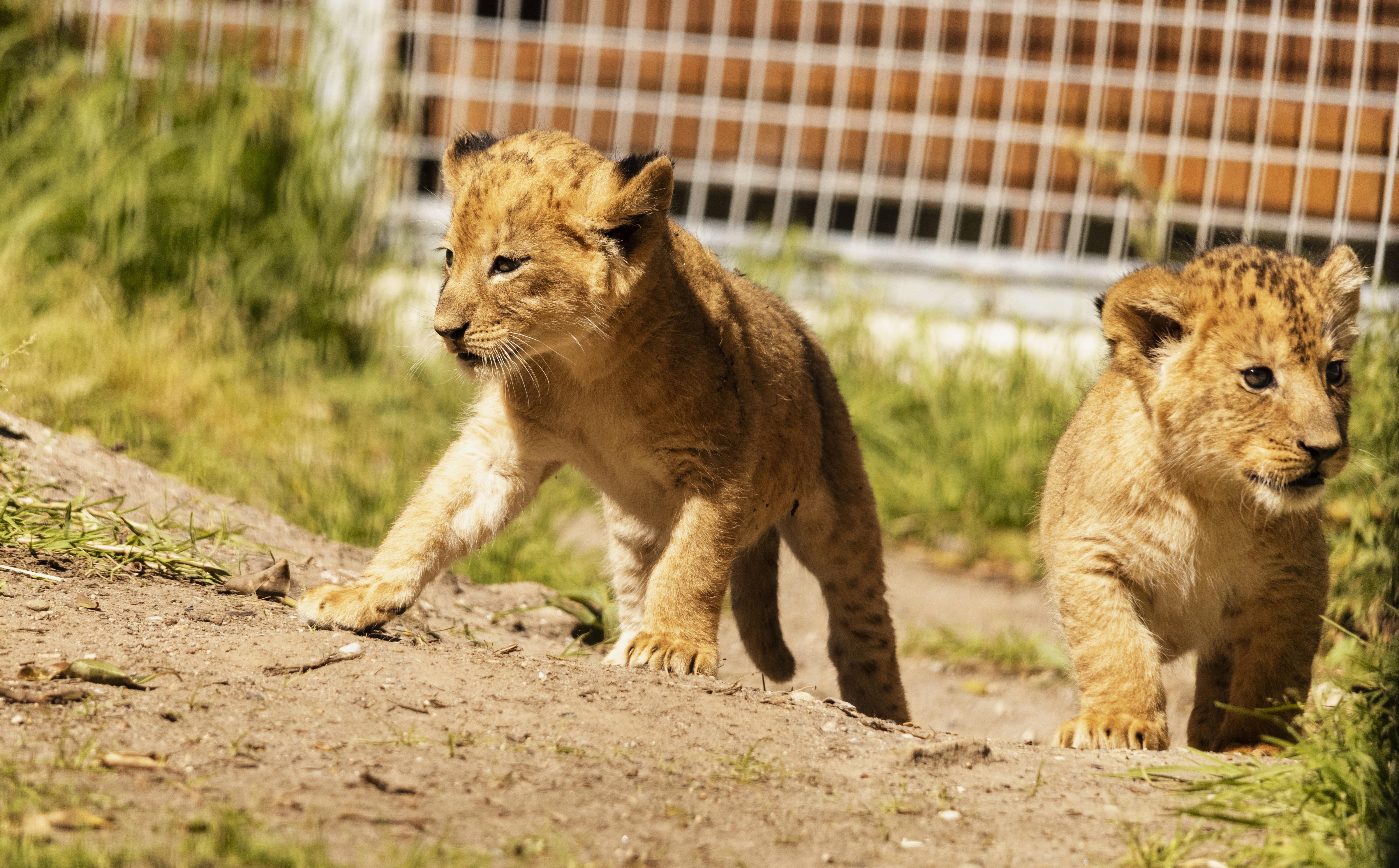 Taronga Zoo's lion cubs soak up the sunshine