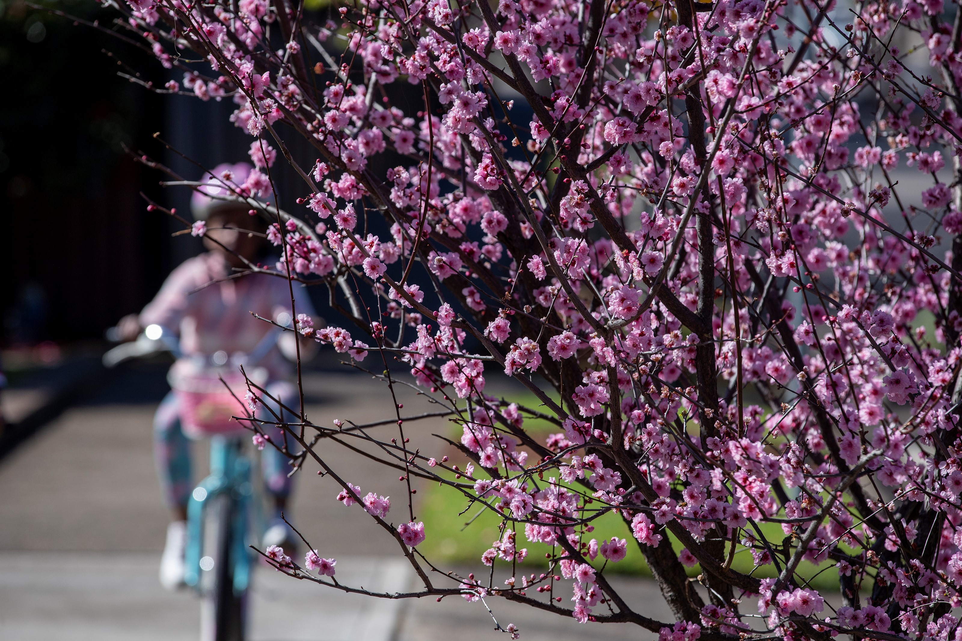 A girl rides past a cherry tree in Sydney, Australia, on Aug. 16, 2021. Australia's state of New South Wales NSW recorded a new record high of 478 new locally acquired COVID-19 cases and eight deaths on Monday. (Photo by Bai Xuefei/Xinhua via Getty Images)