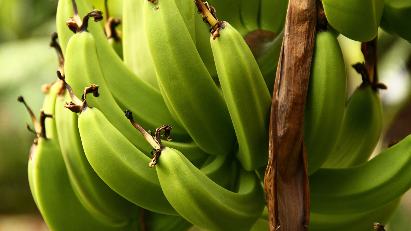 Banana prices expected to skyrocket after Queensland storms